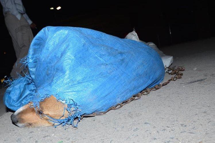 Uno de los perros amarrados que fueron localizados en la zona 3 de Xela. (Foto Prensa Libre: María José Longo)