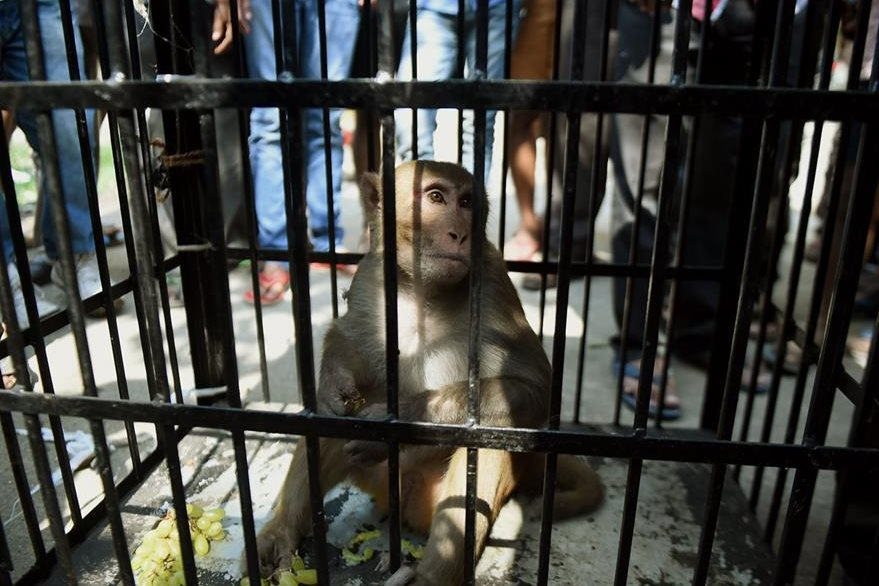 Un mono fue enjaulado en Bombay por ladrón. (Foto Prensa Libre: AFP)