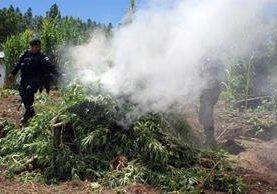 """<p>Autoridades destruyen plantación de marihuana en Momostenango, Totonicapán. (Foto Prensa Libre)<br _mce_bogus=""""1""""></p>"""