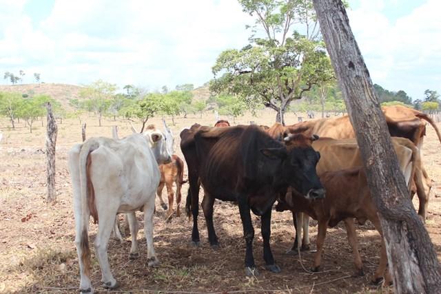 El sector  ganadero es uno de los afectados, porque se ha reducido la producción de leche. (Foto Prensa Libre: Rigoberto Escobar)