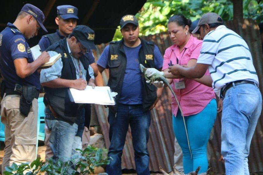 Autoridades inspeccionan algunos de los animales decomisados en Retalhuleu. (Foto Prensa Libre: Rolando Miranda).