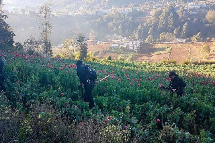Plantaciones de amapola en fase de crecimiento en las montañas marquenses. (Foto Prensa Libre: Whitmer Barrera)