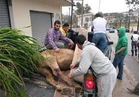 Momento en que es rescatado el caballo, en Cobán. (Foto Prensa Libre: Tomada de Facebook).
