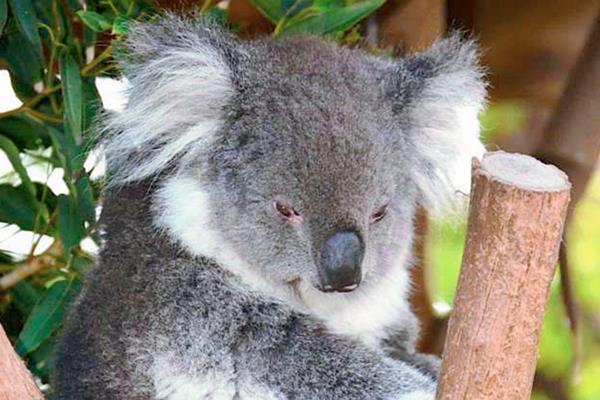 Australia sacrifica a 700 koalas por superpoblación