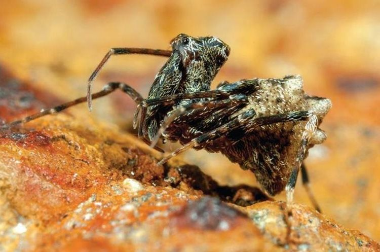 Aquí vemos un ejemplar del género arqueido. A estas arañas también se las llama arañas asesinas porque atacan a otras arañas. GREG ANDERSON
