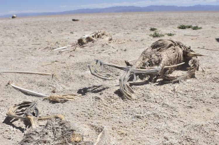 BOL10- ORURO (BOLIVIA).- 14/12/2015.- Fotografía del 11 de diciembre de 2015, de esqueletos de peces en un sector del lago Poopó, que hoy está casi seco, en Oruro (Bolivia). El segundo lago más grande de Bolivia, el Poopó, está en un proceso de desertización en la zona andina del país debido al cambio climático, los fenómenos de El Niño y la Niña y la contaminación minera, afirmaron hoy investigadores y campesinos. EFE/CORTESIA DIARIO LA PATRIA / PROHIBIDA SU PUBLICACION EN BOLIVIA / SOLO USO EDITORIAL / NO VENTAS