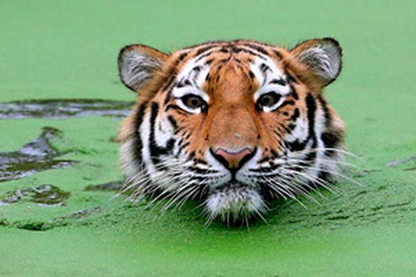 <p>El análisis comparativo de los grandes  felinos muestra que los genes experimentaron una evolución veloz en el tigre</p>