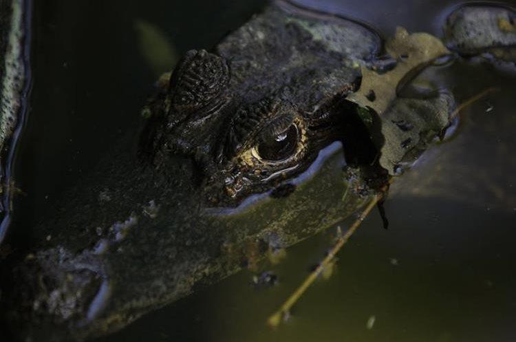 El tortugario de Cecon protege a los caimanes que están en peligro de extinción. (Foto Prensa Libre: Carlos Hernández)
