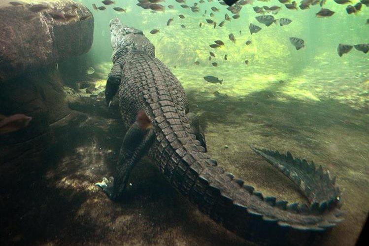 En la playa del parque nacional Daintree, en el noreste del Australia, abundan los cocodrilos. (Foto Prensa Libre: AFP).