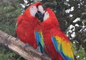 Las guacamayas rojas son una de las especies más perseguidas por los traficantes. (Foto Prensa Libre: Rigoberto Escobar)