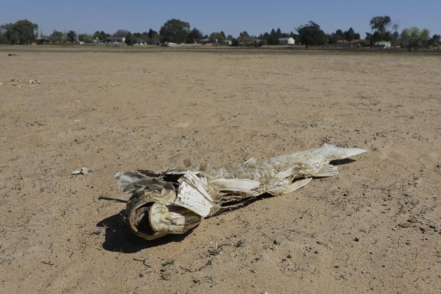 Vista de un pez muerto en lo que era el río Vaal Dam, seco debido a la falta de lluvias en Johannesburgo, Sudáfrica. (Foto Prensa Libre: EFE).