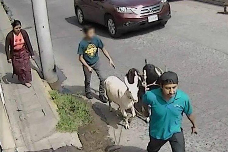 Cámara de seguridad capta supuesto robo de cabras en el centro de Xela. (Foto Prensa Libre: Cortesía)