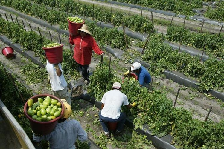 Miles de migrantes centroamericanos trabajan en la agricultura en EE.UU. (Foto Prensa Libre: Hemeroteca PL).