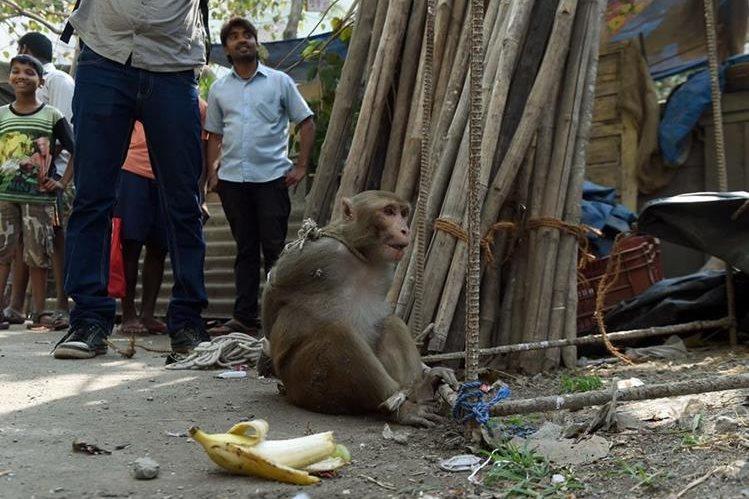 Un mono es amarrado por pobladores por robar comida. (Foto Prensa Libre: AFP)
