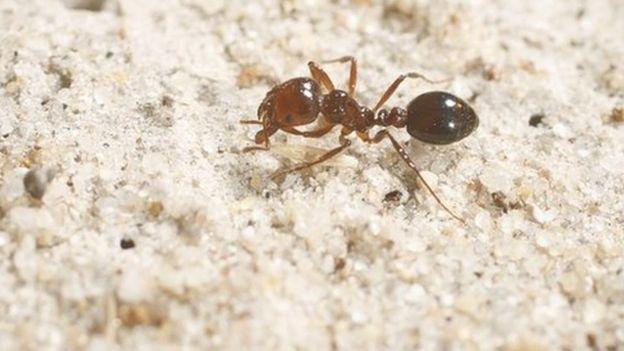 Las hormigas de fuego son llamadas así por el ardor que provocan sus picaduras. BIOSECURITY QUEENSLAND