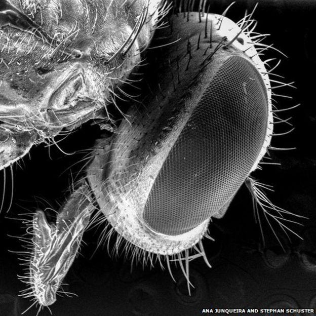 Cabeza de un moscardón bajo un microscopio de electrones. ANA JUNQUEIRA Y STEPHAN SCHUSTER