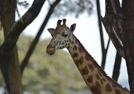 Una jirafa de la subespecie de Rothschild se coloca en su hábitat en el centro de la conservación de la jirafa de Nairobi. (Foto Prensa Libre: AFP).