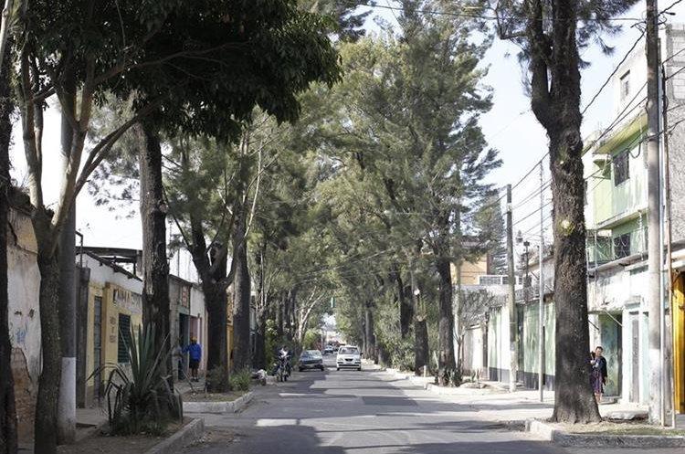 En la Avenida de los Árboles, existieron plantaciones del siglo 18. La de ahora son de la década de los 90. (Foto Prensa Libre: Paulo Raquec)