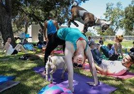 Cabra sube sobre una practicante de yoga que participa en una clase en Glendale, California. (Foto Prensa Libre: EFE)