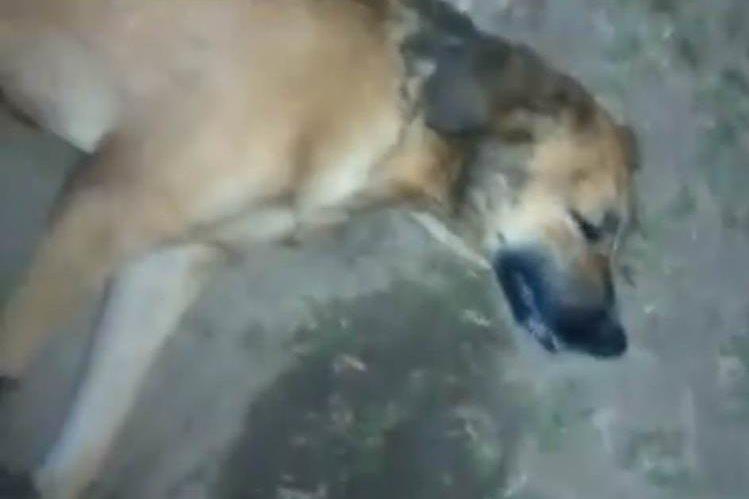 El perro Gordito fue herido de bala por un supuesto agente de la PNC en La Tinta, Alta Verapaz. (Foto Prensa Libre: Facebook)
