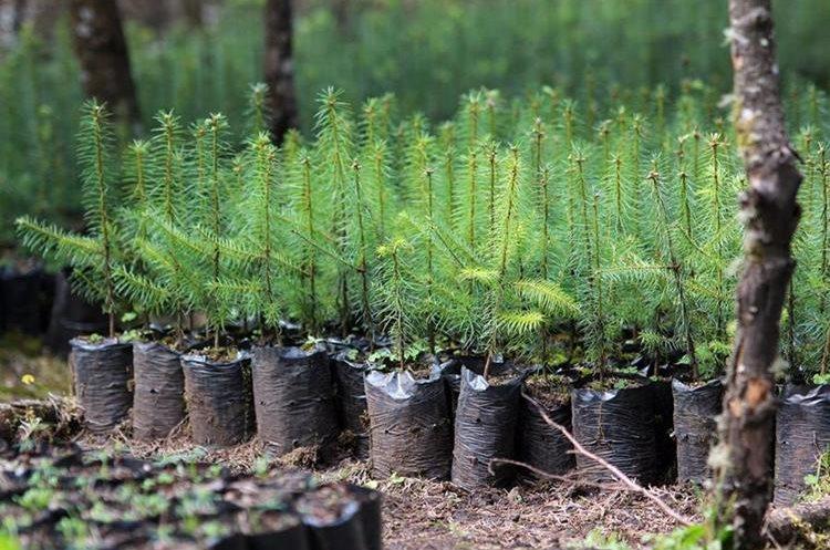 Agricultores deben esperar dos años para llevar el pinabete de viveros a una plantación en campo abierto. (Foto Prensa Libre: Mike Castillo)