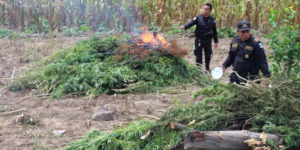 Cuando la policía localiza plantaciones de marihuana, el procedimiento es tomar evidencia e incautar el resto. (Foto Prensa Libre: Hemeroteca PL)