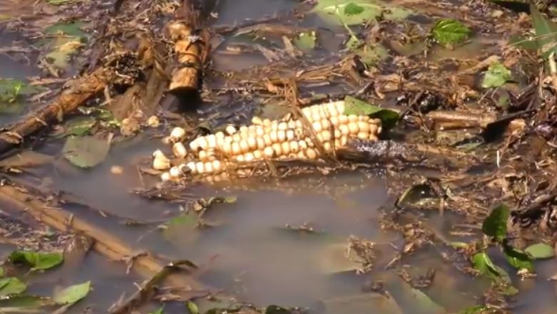 Campesinos perdieron toda la cosecha que tenían prevista para este año. (Foto: Guatevisión)