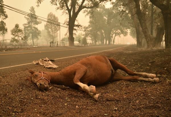 Un caballo muerto por el humo del fuego en el Valle en Middletown, California.