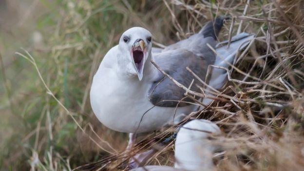 Los polluelos del fulmar utilizan un aceite concentrado en sus estómagos para defenderse de los depredadores. (Foto Prensa Libre: Getty Images)