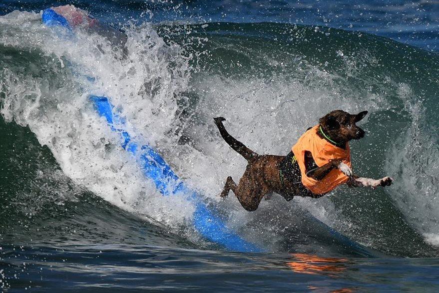 Los perros muestran su amor por el agua y las olas. (Foto Prensa Libre: AFP)