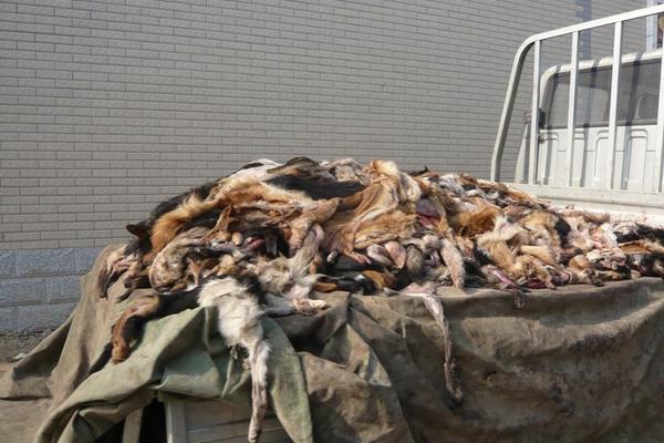 <p>En China aacrifican a perros para industria peletera, según informe de Peta. (Foto Prensa Libre: Tomada de sitio http://investigations.peta.org)</p>