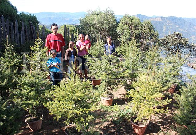El control de la venta del árbol de Pinabete, originario de Guatemala, es importante para evitar su extinción. (Foto: Hemeroteca PL)