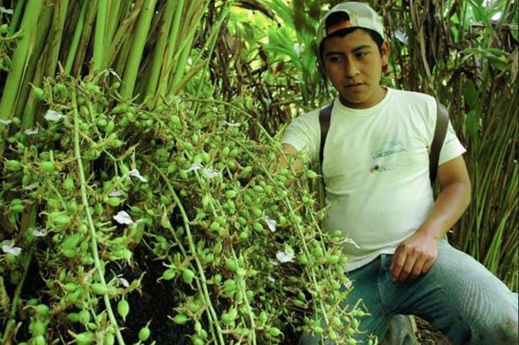 El cardamomo producido en Guatemala se exporta a diversos países como a Estados Unidos, a países de Europa y del Medio Oriente. (Foto Prensa Libre: Hemeroteca)