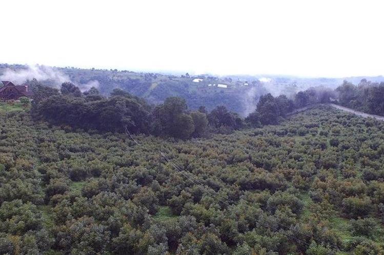 La plantación de aguacate Hass en la finca extinguida al expresidente Otto Pérez Molina en Zaragoza, Chimaltenango. (Foto Prensa Libre: Hemeroteca PL)