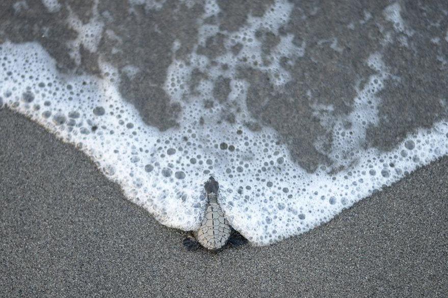 Las siete especies conocidas en el mundo de tortugas marinas están todas en declive o en peligro de extinción.  (Foto Prensa Libre: AFP).
