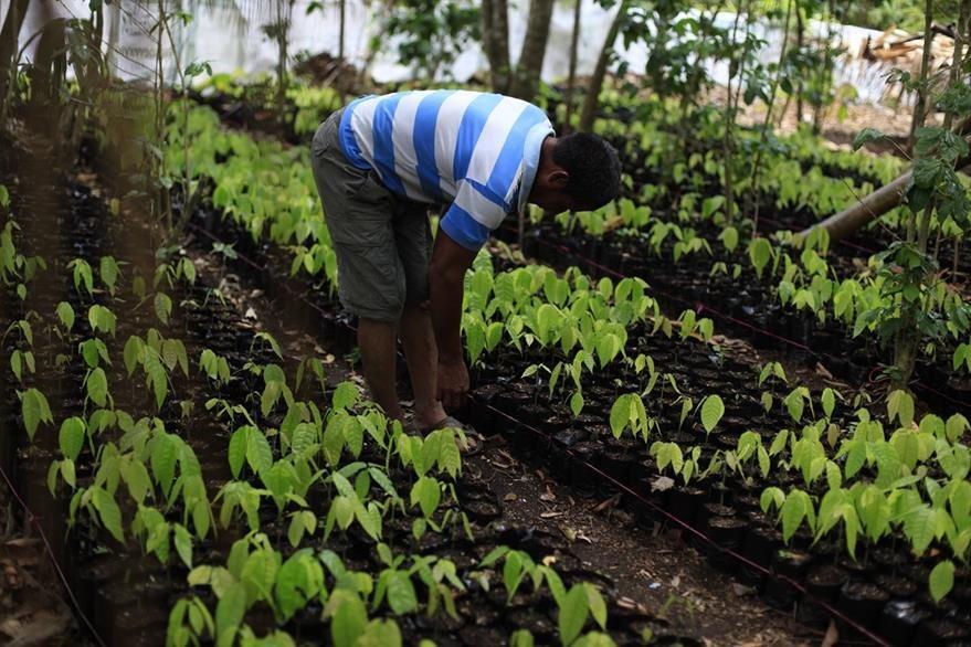 Las siembras son de alto valor comercial, como cacao, y para consumo, como yuca. (Foto Prensa Libre: Edwin Bercian)