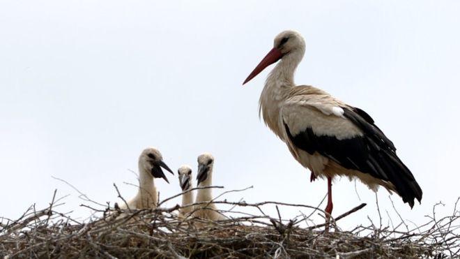 Se calcula que una de cada cuatro cigüeñas del mundo son polacas.AFP