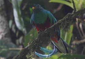 El Quetzal en su hábitat natural en el Biotopo del Quetzal en Purulhá, Baja Verapaz. (Foto: Hemeroteca PL)