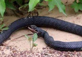 El video fue grabado por un hombre que pasó a la par de la serpiente y notó que había cazado una presa. (Foto Prensa Libre: LiveLeak)