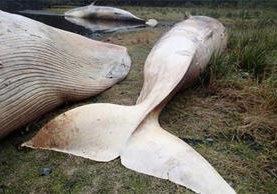 En abril recién pasado, más de 20 ballenas aparecieron muertas al norte del Golfo de Penas, en la Patagonia chilena.