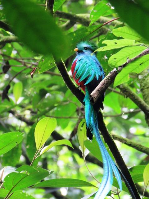 El ave símbolo   pude ser vista sin dificultad en el Refugio del Quetzal, en San Rafael Pie de la Cuesta, San Marcos. (Foto Prensa Libre: Aroldo Marroquín)