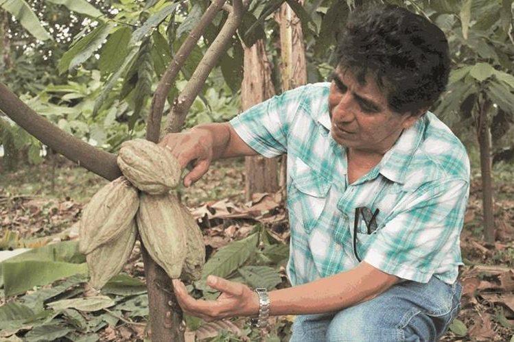 El cacao guatemalteco goza de fama en el mundo por su buena calidad. (Foto Prensa Libre: Hemeroteca PL)
