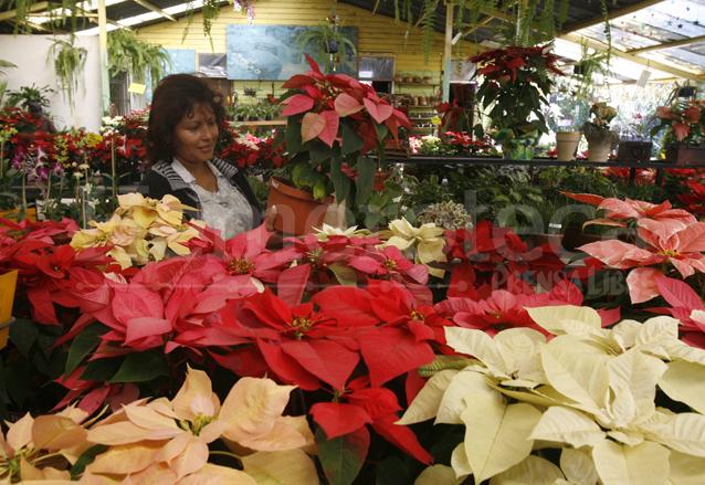 La flor de pascua es una especie propia de América. Se le asocia con la Navidad. (Foto: Hemeroteca PL)
