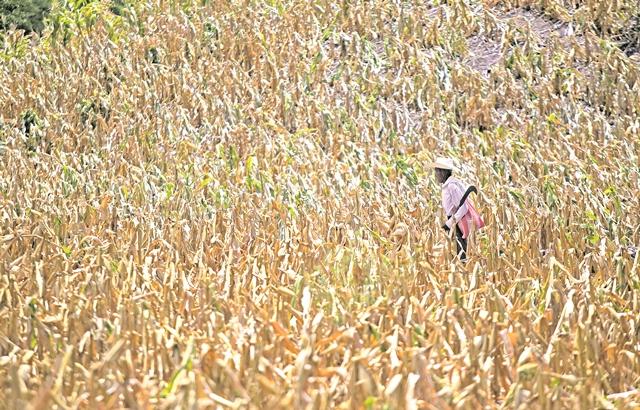 Los productores que dependen de la lluvia para los cultivos de granos básicos son los más afectados con el cambio climático. (Foto Prensa Libre: Hemeroteca PL)