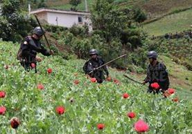 Más de 200 agentes antinarcóticos participan en la erradicación de amapola, en Ixchiguán y Tajumulco, San Marcos. Los pobladores dicen que siembran la planta por necesidad. (Foto Prensa Libre: E. Paredes)