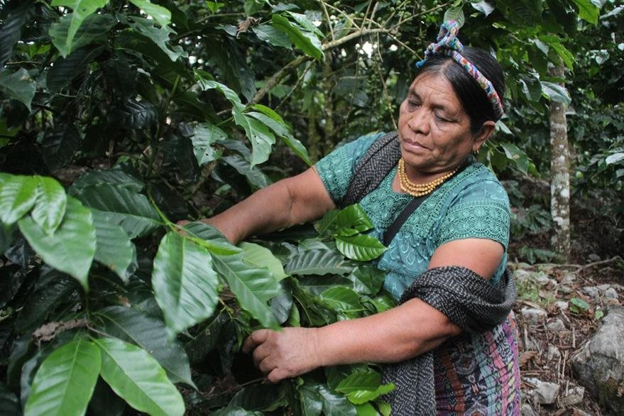 Juana Sales es otra caficultora de Huehuetenango. (Foto Prensa Libre: Mike Castillo)