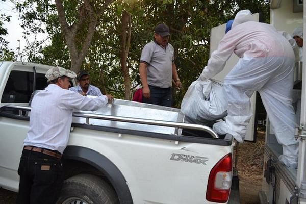 <p>Trabajador del Inacif introduce en un ataud el cadáver de Salazar Colindres. (Foto Prensa Libre: Hugo Oliva). <br></p>