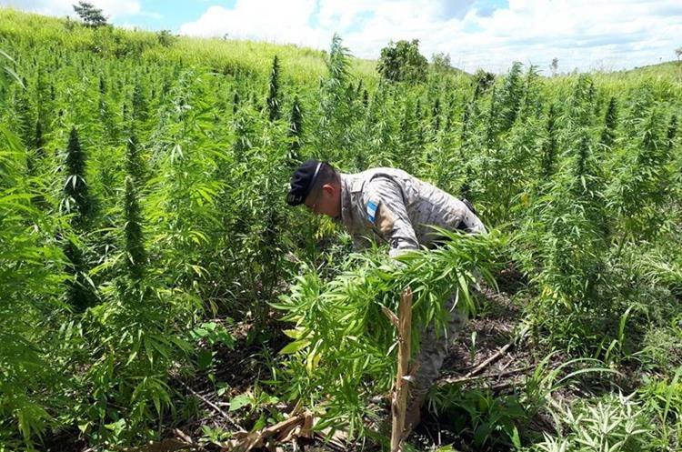 Marihuana estaba en fase de crecimiento. (Foto Prensa Libre: Rigoberto Escobar).