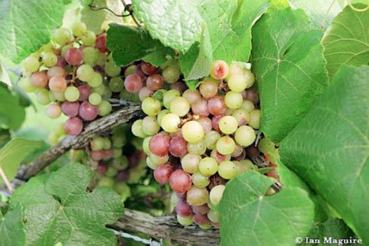 Las uvas muscadine puede ayudar a mitigar la formación de nuevas células de grasa, gracias al tocotrienol. (Foto Prensa Libre, tomada de ufl.edu)