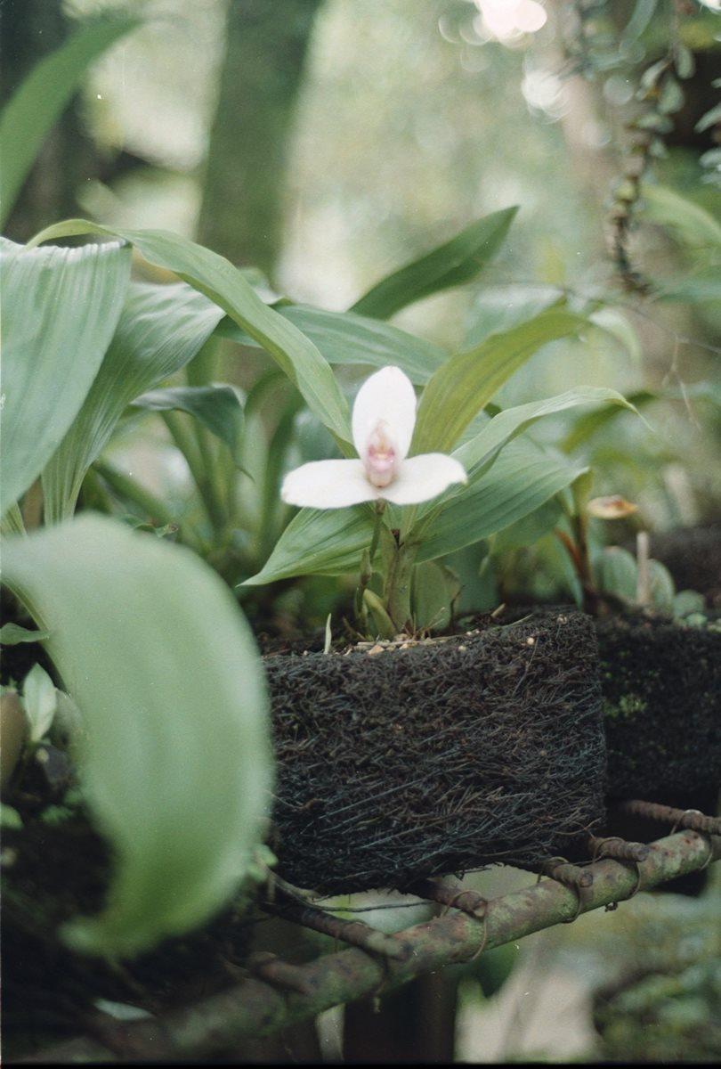 En un vivero la monja blanca debe regarse cada 15 días. Es una flor epífita, es decir vive encima de otras plantas. (Foto Prensa Libre: Hemeroteca PL).
